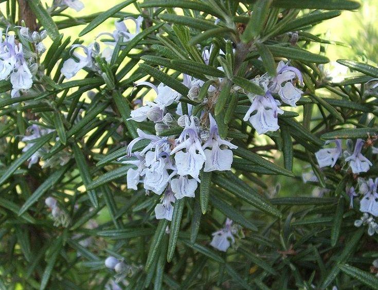 El romero, el tomillo, la manzanilla y otras plantas medicinales son muy típicas en nuestros montes.