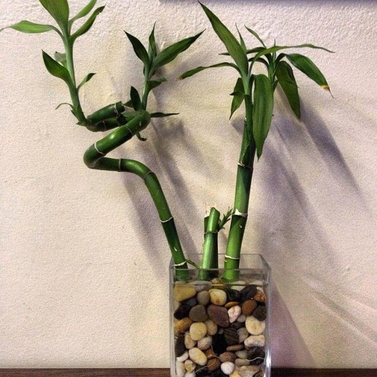 Cómo cultivar Bambú de la suerte