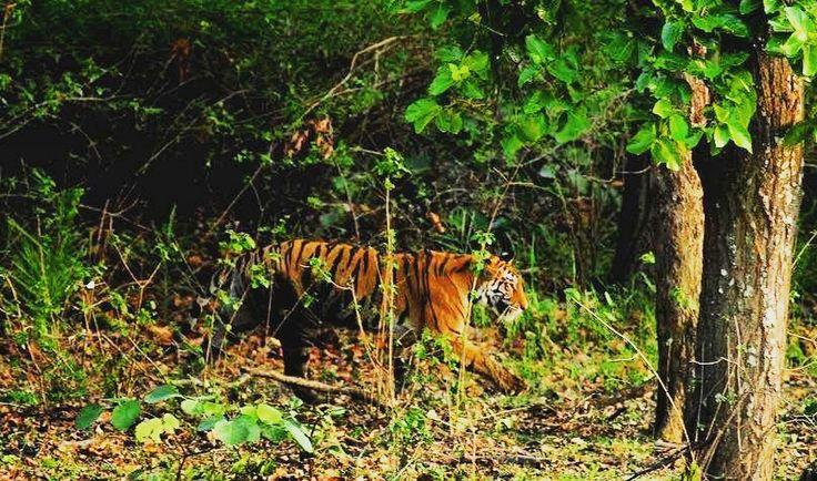 How lucky we are to be on a planet where we can still enjoy the Bengal tiger roaming free on our watch. Image © @neeraj_pathania #BaghSarai #Bandhavgarh #NationalPark #themensa #nature #junglesafari #tigersafari #wildlife #luxury #travel #wanderlust   #junglediaries #wildcats #wildlifephotography #getaway #gamedrive #tiger #bushdinner #madhyapradesh #incredibleindia
