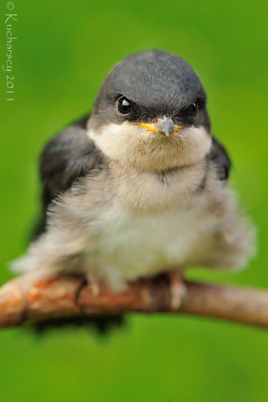 A  young common house martin after its first flight, so cute!