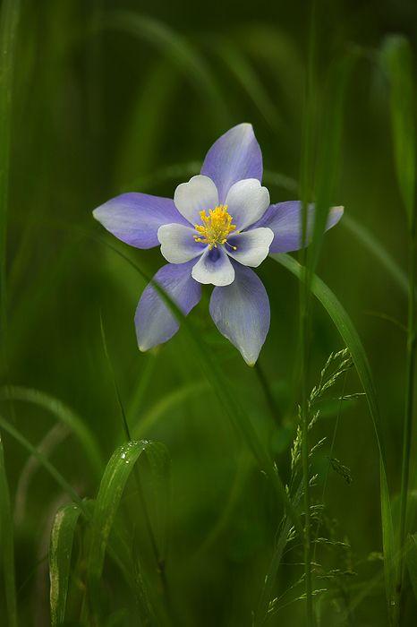 """The Fragile Season""  Colorado Blue Columbine - Rocky Mountain National Park - CO  http://www.natezeman.com/photo/the-fragile-season/#"