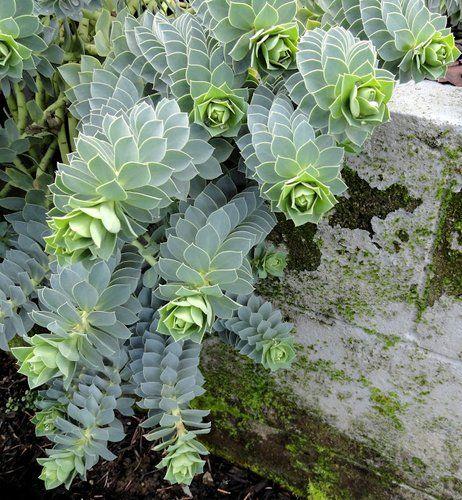 Euphorbia myrsinites More
