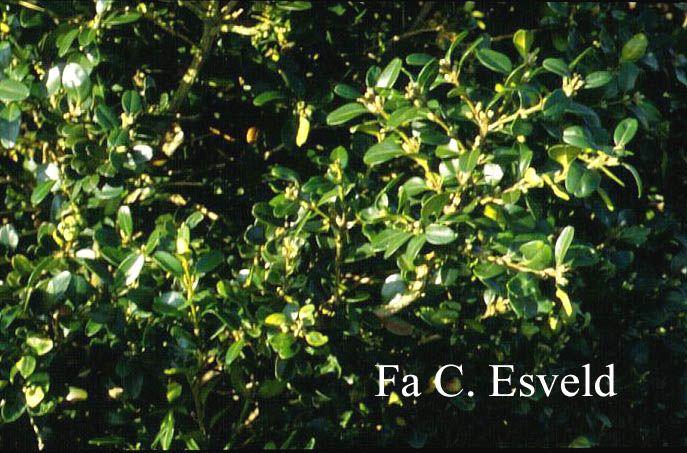 Buxus microphylla 'National' brede opgaande struik geschikt voor hogere hagen De hoogte na 10 jaar is 250 cm. De bladkleur is groen. Deze plant is goed winterhard.