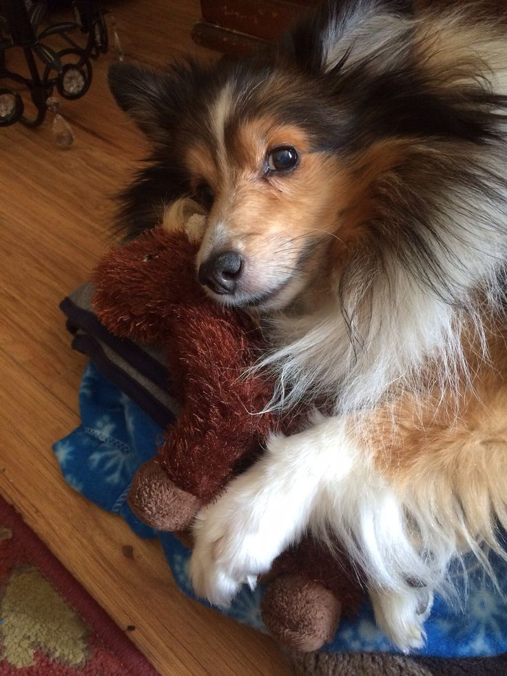 97 Best Images About Bloomsbury Life On Pinterest: 97 Best Images About Shelties On Pinterest
