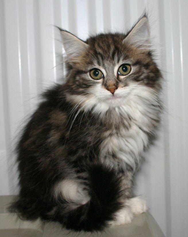 Mjollnir Norwegian Forest Cats - Norwegian Forest Kitten