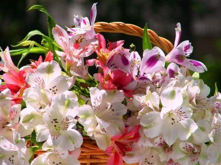 Nyári szépség - virágok, fehér, rózsaszín, nyár, természet, szépség, bíbor, lágy, kosár