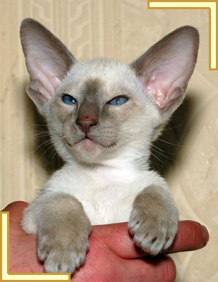 Lilac point Siamese. This little one is very phunny looking!!