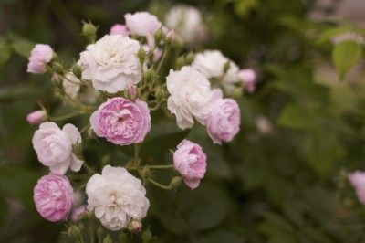 Starting A Rose Garden: Caring For Rose Bushes - Roses are some of the most popular and beautiful flowering shrubs grown, but starting a rose garden may seem daunting to new gardeners. However, growing roses for beginners doesn't have to be a stressful endeavor. In fact, with proper planting and care, nearly anyone can become a successful rose gardener. Read on for growing information on roses.