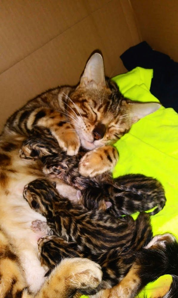 Western Ny Bengal Kittens For Sale Rosetted Silver Snow Bengals Bengal Kitten Bengal Kittens For Sale Bengal Cat Breeders