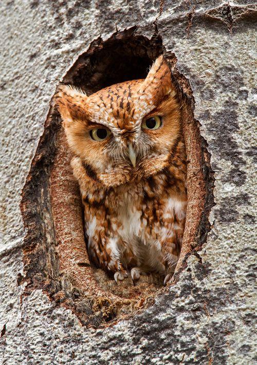 Funny Wildlife, h4ilstorm: Eastern Screech Owl (by Bill...