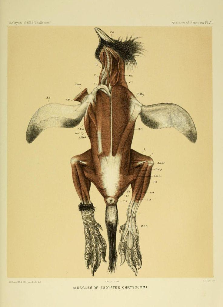 scientificillustration:    Muscles of Eudyptes chrysocome - theSouthern Rockhopper Penguin  Anatomy of Penguins Plat VIII