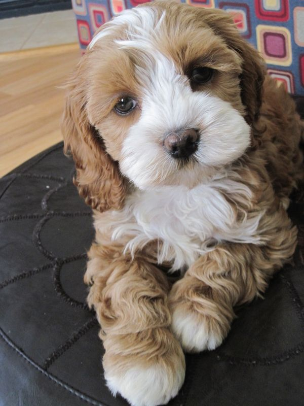 Cutest little puppy ever my new baby cockapoo Maggie