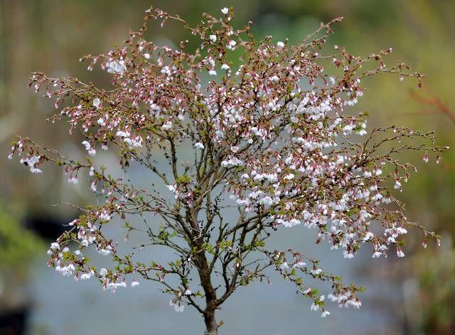 Prunus Incisa Kojou No Mai Shrubs And Trees Pinterest