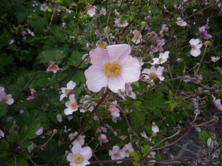 A nyár végi, kora őszi kertek nagy kihívása, hogy virágok nyíljanak benne. Ilyen virágok a nyár végén, ősszel virágzó japán szellőrózsák, amelyeknek jól jön a nappalok rövidülése, és a hűvös éjszakák. http://kertlap.hu/kert-nyar-vegi-sztarja-japan-szellorozsa/