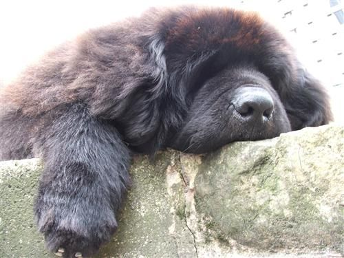 Dog Name: HUGO BOSS  SHIREBEARS NEWFOUNDLANDS   My Dog loves Fish4Dogs because... :  It shows in his coat, his play, his skin and his teeth. He is simply the best and he is fed simply the best!