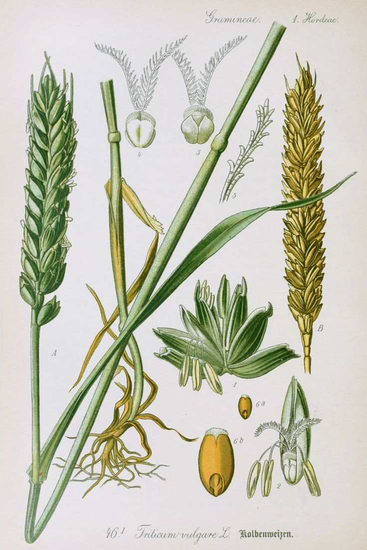 wheat-antique-botanical-illustration-from-flora-of-germany ...