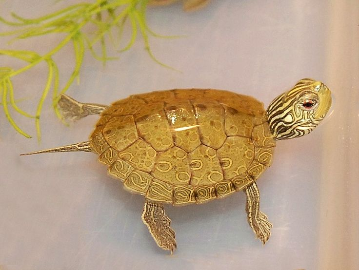The Common Map Turtle for sale from The Turtle Source