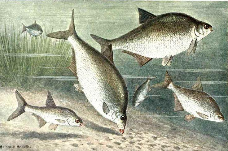 Brasem vissen met de feederhengel. Als aas maden en als voer in de korf speciaal voer voor brasem. Nu regelmatig gevangen in Zuiderplas te 's-Hertogenbosch.