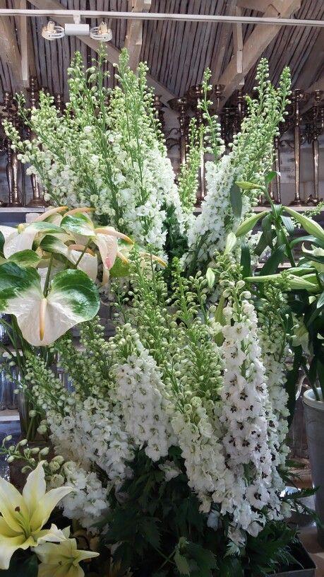 Beautiful Hybrid Delphinium