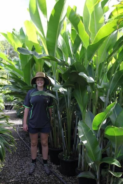 a women stanging beside heliconia kawauchi for scale