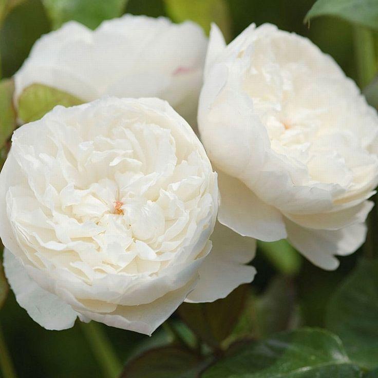English Rose (David Austin) 'William & Catherine'