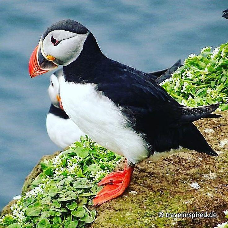 Beautiful Puffin on grimsey  Neuer Blogpost zu Grimsey auf travelinspired.de!  #island #grimsey #iceland #puffin #papageientaucher #traveliceland #msfram #birds #birdsofinstagram #hurtigruten #vögel #seevögel #arctic #arktis #reisebericht