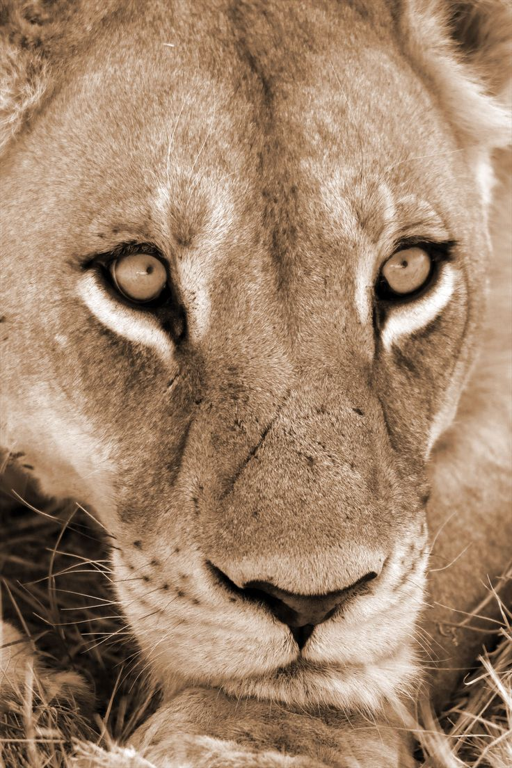 A quiet moment of contemplation by a Lioness in Moremi Game Reserve.  Get close with  Discover My Africa. info@discovermyafrica.com