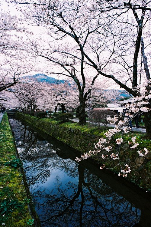 travel, Kyoto, Japan, sakura, cherry blossoms, spring
