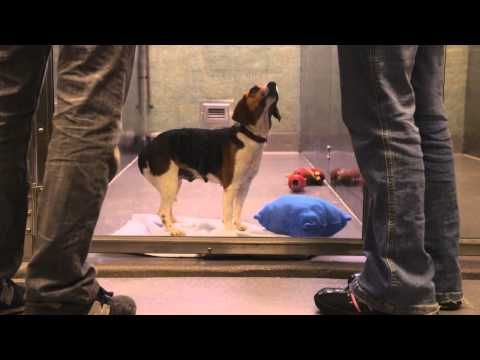 The day they entered the shelter was the best day of this dog's life (VIDEO) » DogHeirs | Where Dogs Are Family « Keywords: adopt, Beagle