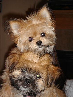 shih tzu pomeranian mix puppies for sale 1000 ideas about pomeranian mix on pinterest dogs for 814
