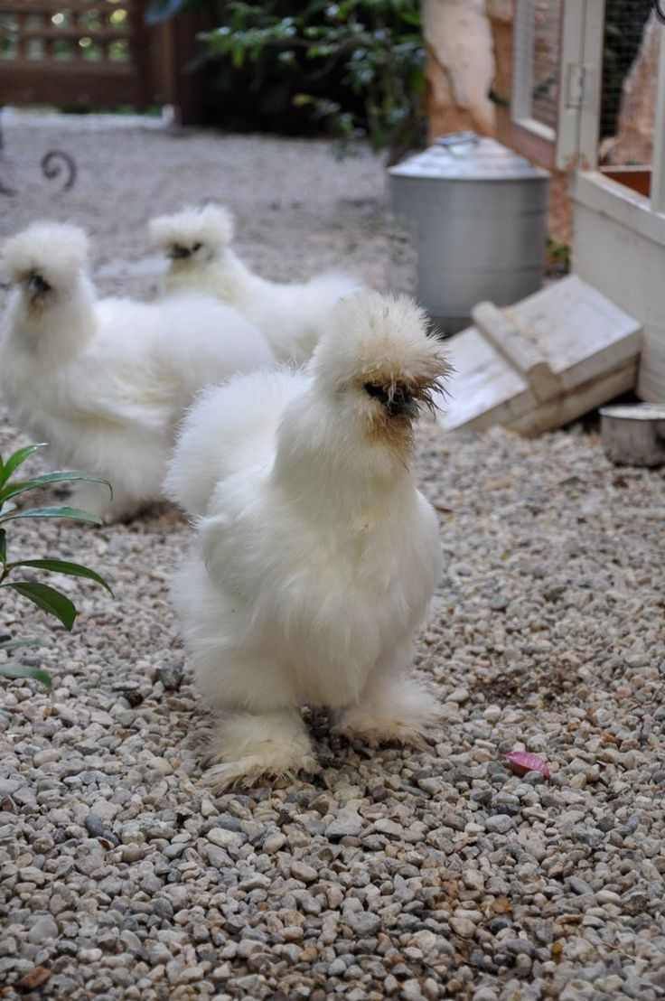 Cute animals for sale - Silkie Bantam I Think I Have To Have At Least One Of These
