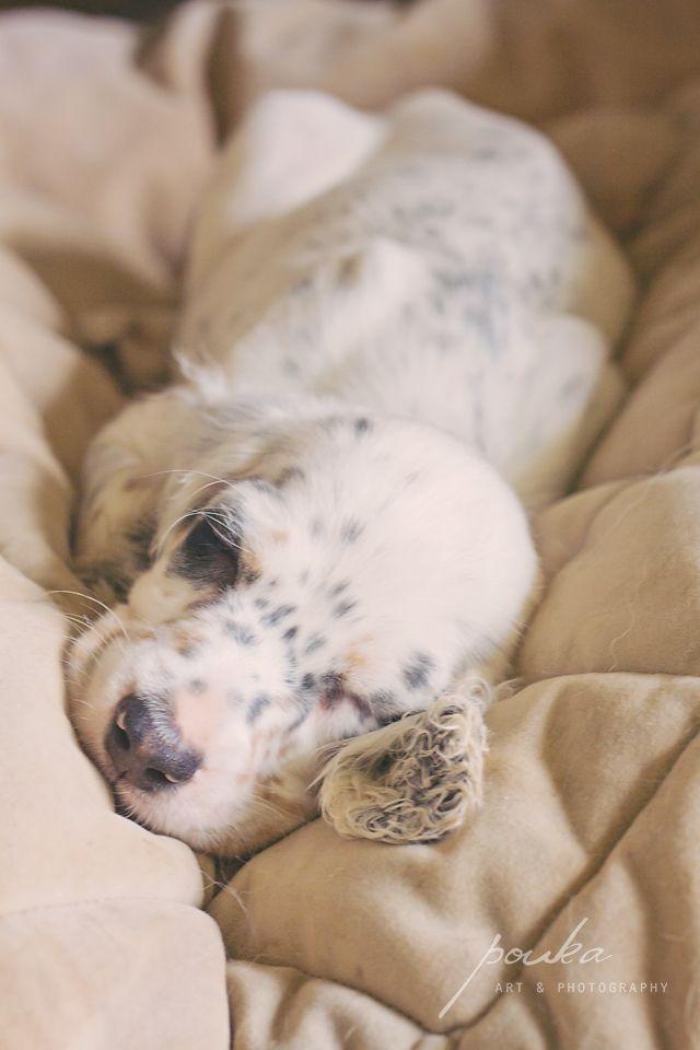 A sleeping English Setter puppy. Photographed by Pouka Fine Art Pet Portraits.