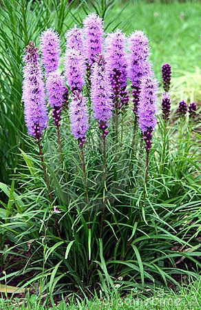 Need these! dense blazing star perennial. Had them at other house, easy to care for & butterflies love them.
