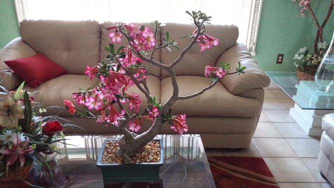 4 Ways to Plant Desert Rose Seeds - wikiHow