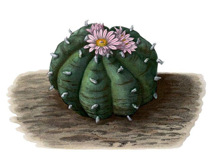 Сам себе врач: Uаллюциногенный кактус Lophophora wiliamsi