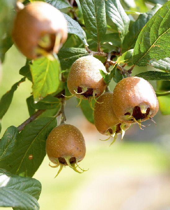 Wykwintną marmoladę z nieszpułki jadano na królewskich dworach antycznego Wschodu i średniowiecznej Europy. Warto dziś posadzić w ogrodzie ten piękny, prastary krzew, by poznać niepowtarzalny smak jego owoców