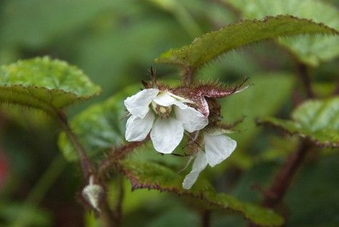 """Rubus tricolor """"Perhaps the most delightful evergreen ground-coverer in shade. Trails of heart-shaped, glossy leaves, often purple at the margins. 60cm."""""""