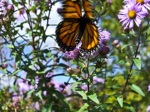 A free flying, Monarch Butterfly, by a pond in New England © Heidi Anne Morris