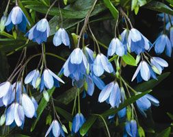 Sollya heterophylla A twining perennial climber with simple, evergreen leaves and nodding clusters of blue flowers 1.5cm across during summer, followed by purple berries. Perfect for training over an archway or pergola and ideal for container planting too.