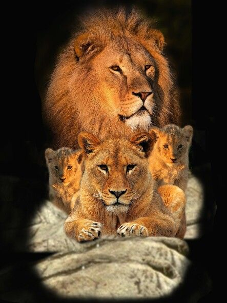 Família de leões | Imagens para tatoo | Pinterest