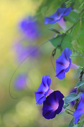 Morning glories - I plan to plant these around the light post in my yard!