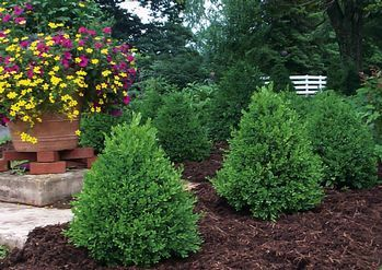 Buxus x 'Green Mountain' Green Mountain Boxwood