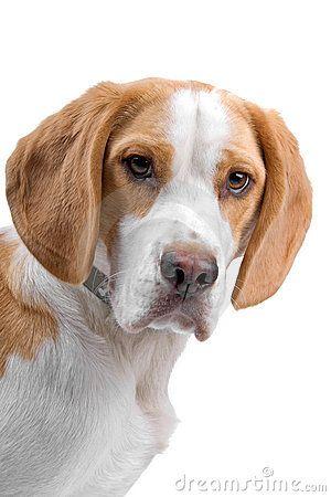 Bicolor Beagle