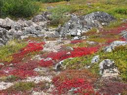 Animales notables en la tundra del Ártico incluyen el caribú (reno), buey almizclero, liebre ártica, el zorro ártico, el búho nival, lemmings, y los osos polares (sólo cerca de los cuerpos al mar alimentados de agua). [6] Tundra es en gran parte desprovista de poikilotermos tales como ranas o lagartos.