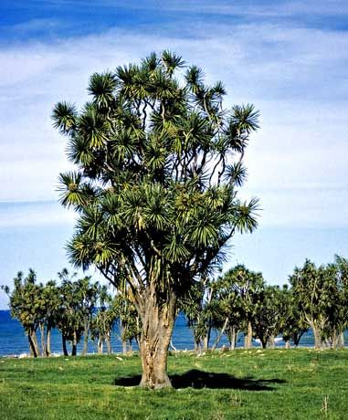 The cabbage tree (Cordyline australis) is one of the most distinctive trees in the New Zealand landscape, especially on farms.