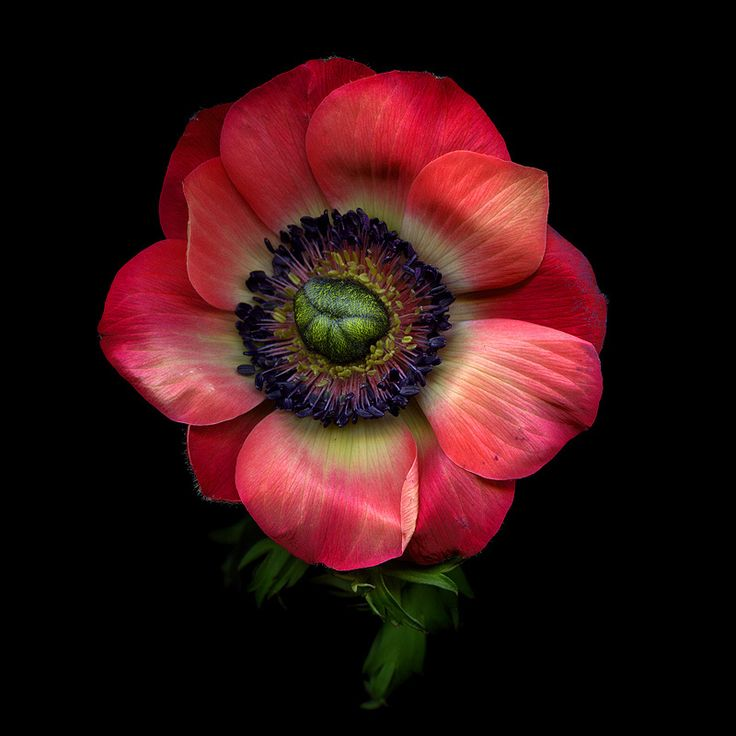 Anemone Coronaria The Most Popular Including The de Caen And st Brigid