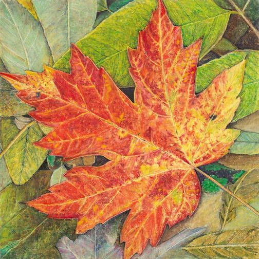 (Red Maple)