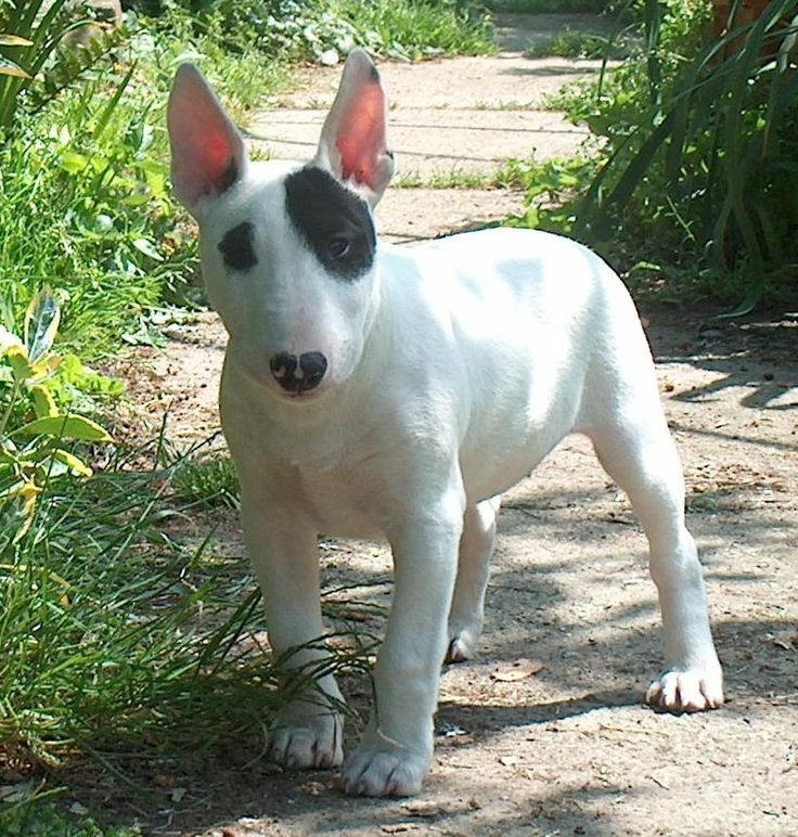 Bull terriers have such a funny face that mades them specials!