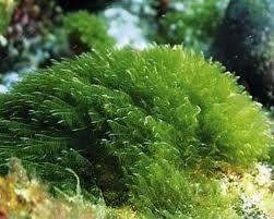 La super proteina vegetale: l'alga spirulina