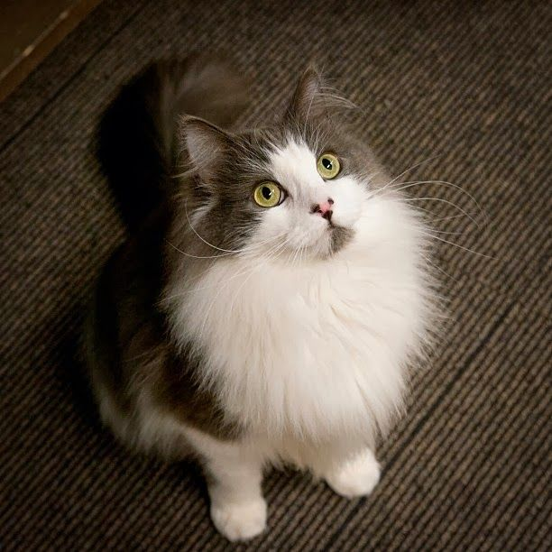 Norwegian Forest Cat Temperament and Personality Click to read